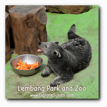 A Binturong a.k.a. Bearcat During Lunch Time at Lembang Park and Zoo