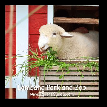 A Sheep at Lembang Park and Zoo