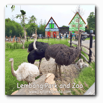 A Family of Ostrich at Lembang Park and Zoo