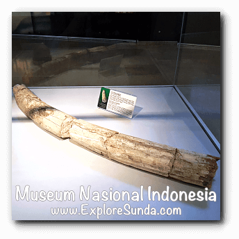 A tusk fossil of Stegodon- a collection of Museum Gajah (The National Museum of Indonesia), Jakarta