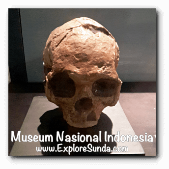 The skull of Homo Wajakensis, a collection of Museum Gajah (The National Museum of Indonesia), Jakarta