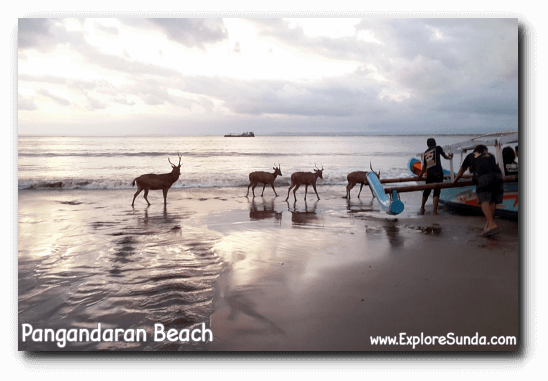 At dusk deer from Pananjung Nature Reserve come to play on Pangandaran beach.