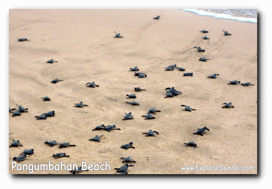 Turtle hatchlings race to enter the ocean for the first time in their life.