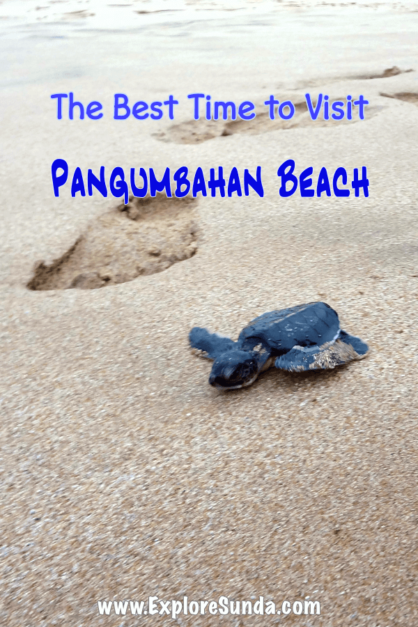 Let's go to #Pangumbahan beach, #UjungGenteng |  watch a #CheloniaMydas, a.k.a. the #SeaGreenTurtle, lays eggs and release the turtle hatchlings to the ocean! | #ExploreSunda