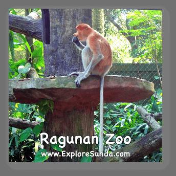 A bekantan in Schmutzer Primate Center, Jakarta.