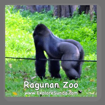 One of the two gorillas live in Schmutzer Primate Center.