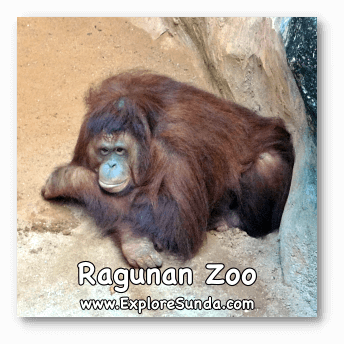 One of the Orang Utans that lives in Schmutzer Primate Center.