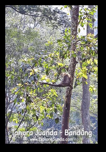 Can you see a monkey sitting on a tree? There are many others at Taman Hutan Raya Ir. H. Djoeanda | TahuraJuanda - DagoPakar, Bandung.