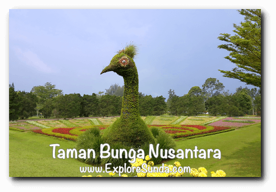 Giant Peacock Topiary at Taman Bunga Nusantara in Cipanas, Puncak