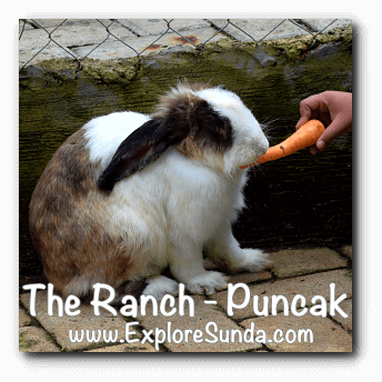 Feed rabbits at The Ranch in Cisarua, Puncak
