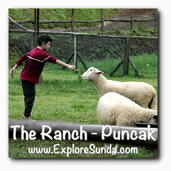 Parks and Gardens: Feeding a sheep at The Ranch Cisarua, Puncak.