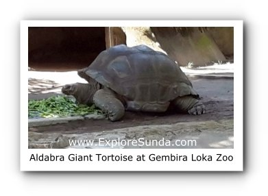 Aldabra, the Giant Tortoise, at Gembira Loka Zoo