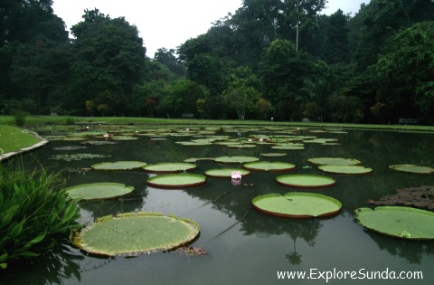 Lotus Pond in Bogor Botanical Garden