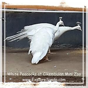 White Peacock at Cikembulan Mini Zoo