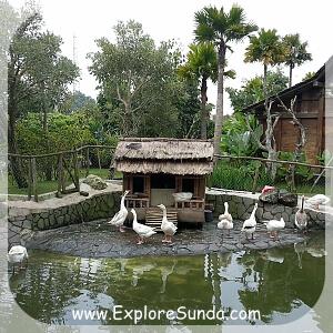 Swans at Floating Market Lembang
