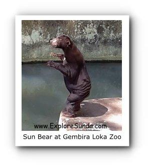 Sun Bear at Gembira Loka Zoo
